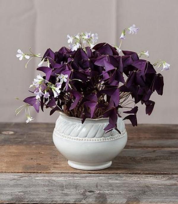 Glücksbringer Pflanzen weißer Blumentopf vierblättriger Sauerklee schönes Geschenk zum Valentinstag