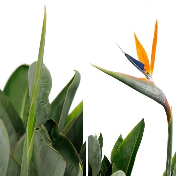 Strelitzie bei richtiger Pflege exotische Blüte