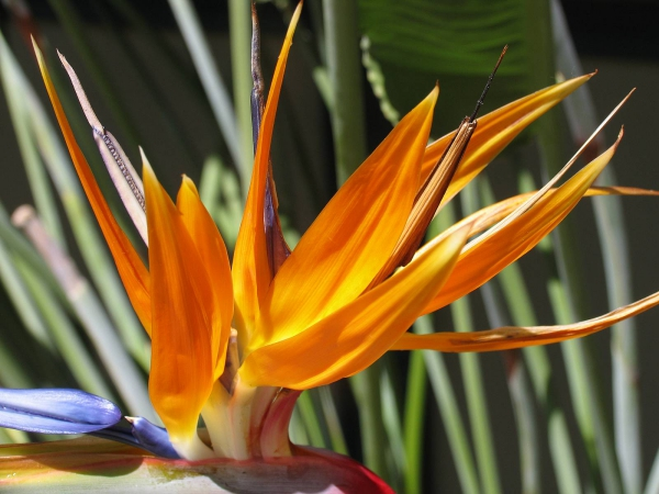 Strelitzie einmalige Blütenpracht bringt Exotik mit