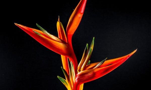 Strelitzie einzigartig im Aussehen markante Blüte