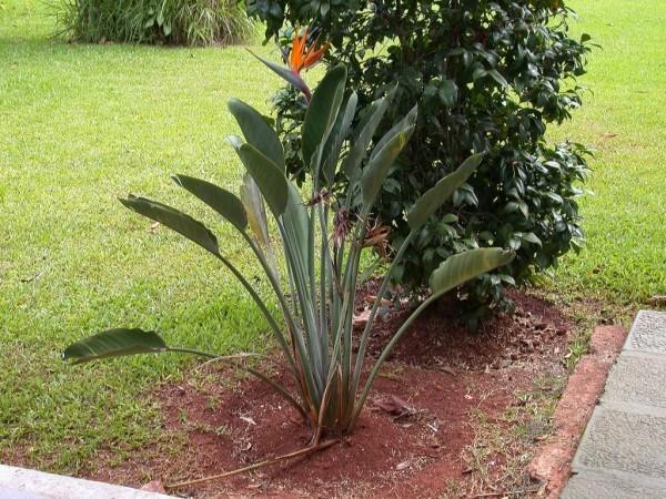 Strelitzie im Garten bei passenden Klimaverhältnissen