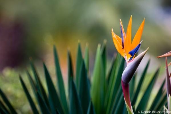 Strelitzie populäre Art Königs-Strelitzie und ihre Blüte