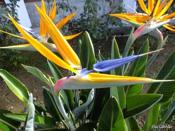 Strelitzie wunderschöne Blüten ein Beweis für die schöpferische Kraft der Natur