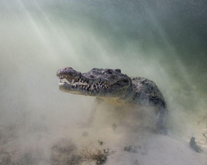 toller krokodil unterwasserbilder