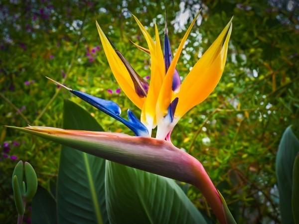 trelitzie auch Paradiesvogelblume genannt exotischer Charme
