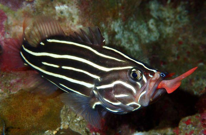 unterwasserbilder fisch mit schwarz weißen streifen
