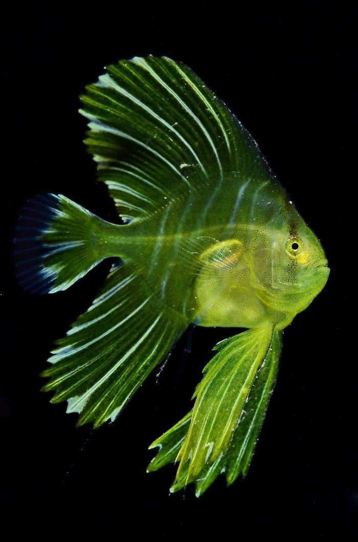 unterwasserbilder grün gelber fisch