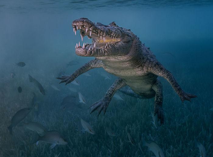 unterwasserbilder krokodil - tolle Aufnahme