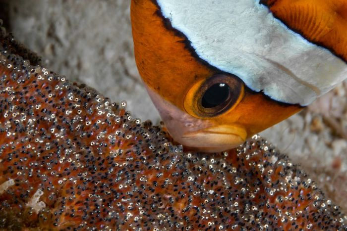 unterwasserbilder toller gestreifter fisch