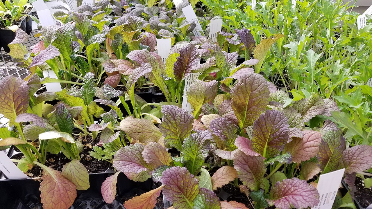 Frisches Gemüse Gartenpflege