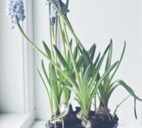 Hyazinthen bringen tolle Farben und fischen Frühlingsduft ins Haus