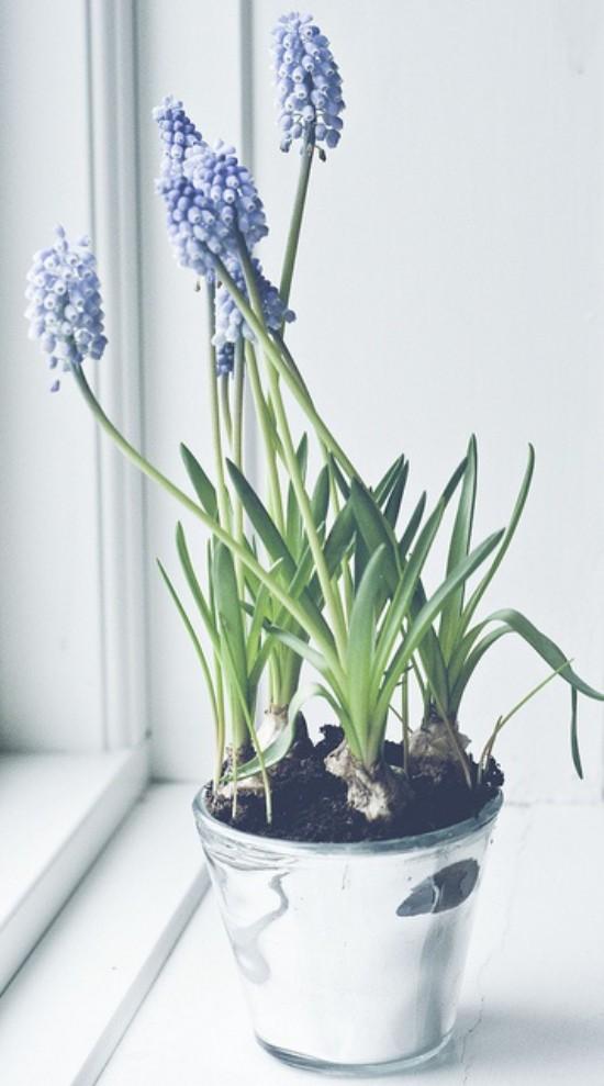 Hellblaue Hyazinthen im Topf auf der Fensterbank drinnen