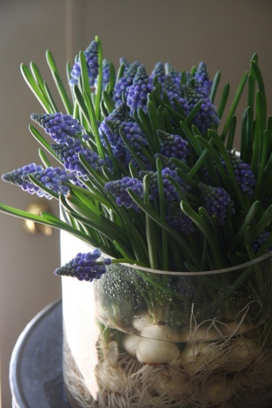 Hyazinthen im Glas gesättigtes Blau schöne Frühlingsdeko