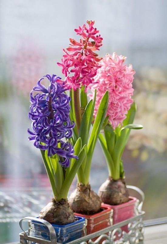 Hyazinthen im Topf rosa violett Königsblau als Mittelstück auf dem Tisch
