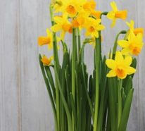 Deko Ideen mit Narzissen laden den Frühlings ins Haus ein