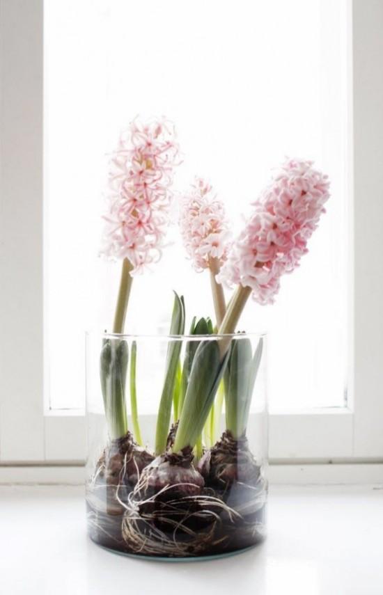 Rosafarbene Hyazinthen im Glas leicht giftige Schönheiten