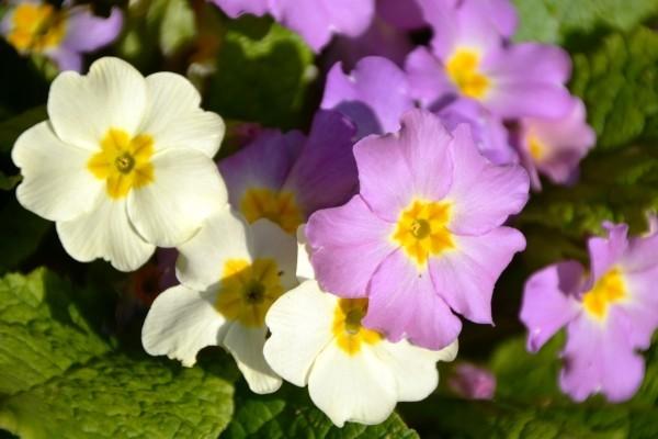 Tolles Weiß und Lila Gartenpflege