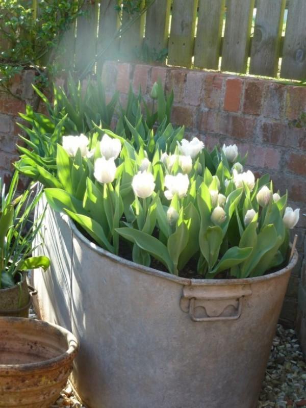 Tulpen im Garten weiße Blüten im Metallbehälter eine sonnige Ecke draußen