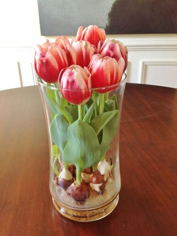 Tulpen im Interieur mehrfarbig im Glas Zwiebeln