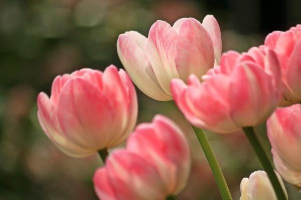 Weiß - Rote Tulpen Gartenpflege