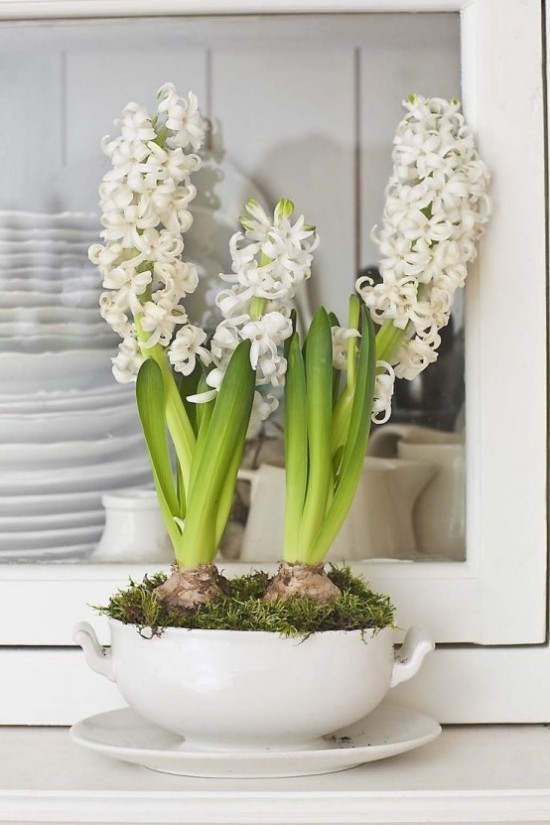 Weiße Hyazinthen in Suppenschüssel mit Blumenerde und Moos arrangiert