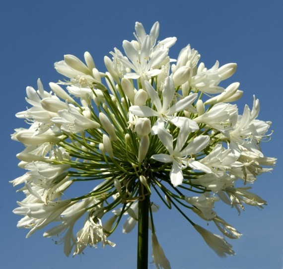 afrikanische lilie schmucklilie agapanthus africanus liebesblume weiß