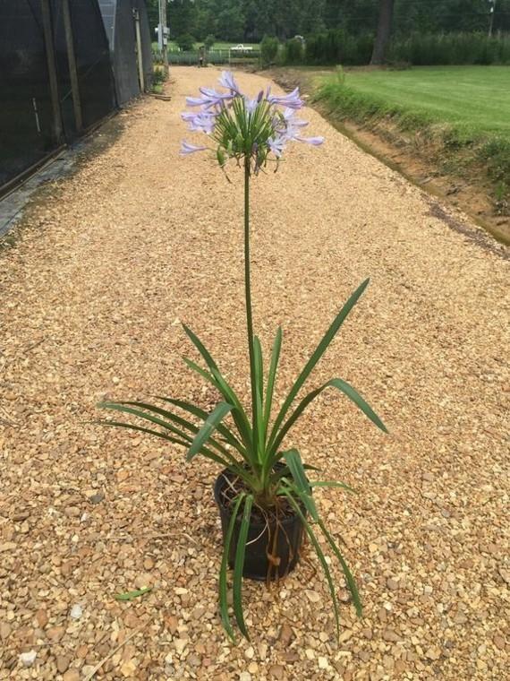 afrikanische lilie schmucklilie agapanthus königliche kübelpflanze