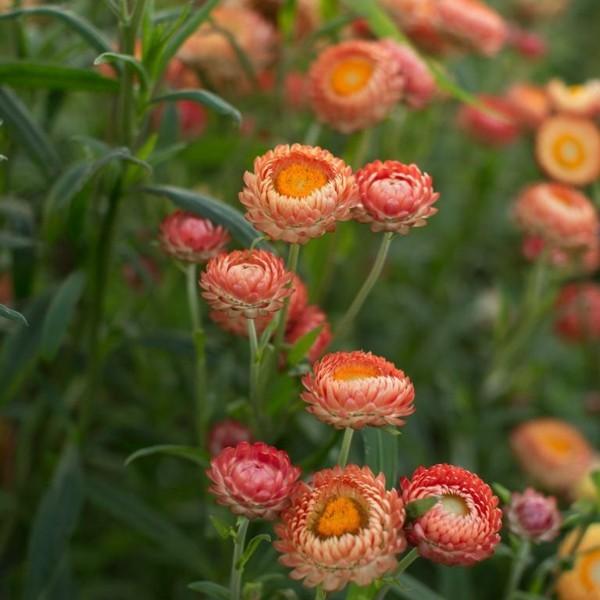 orange blüten strohblume