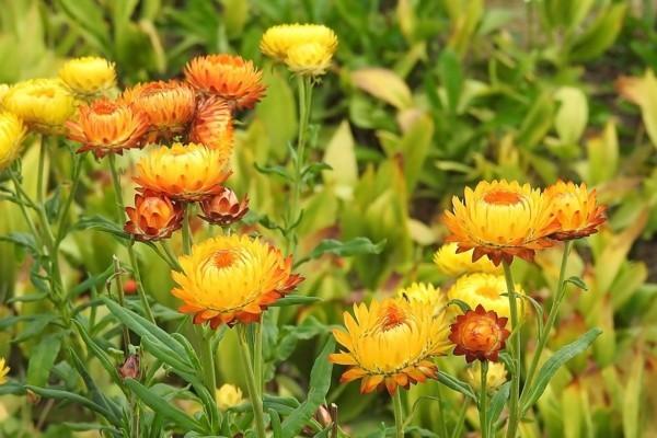 strohblume gelbe blüten