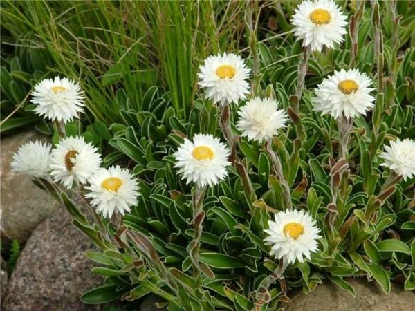 strohblume weiße blüten