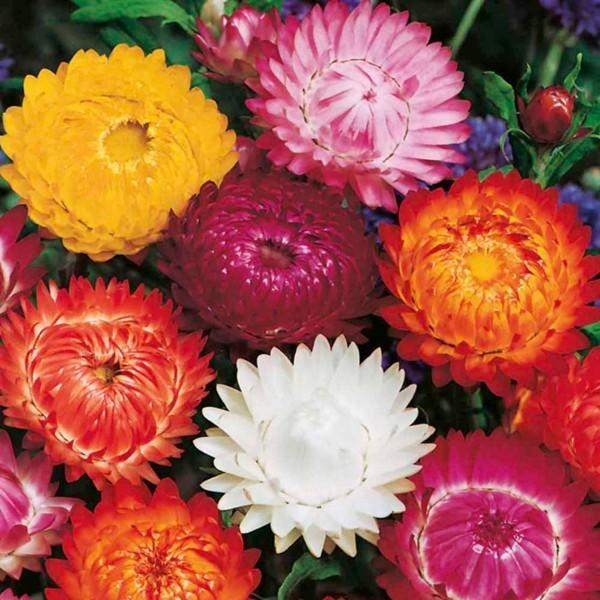 strohblume wunderschöne blüten