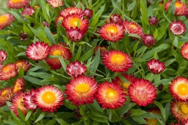 strohblumen helichrysum rote blüten