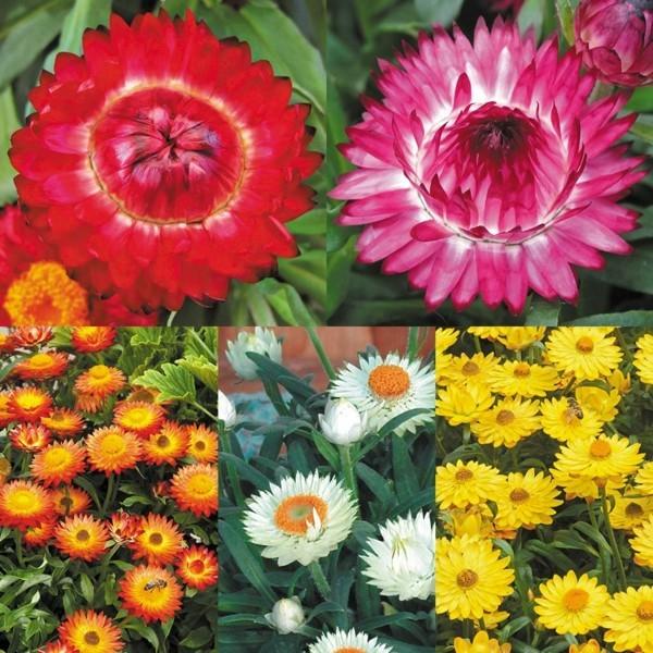 unterschiedliche sorten helichrysum strohblume