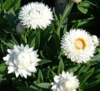 Die Strohblume: Tipps zur richtigen Pflege und Trocknung