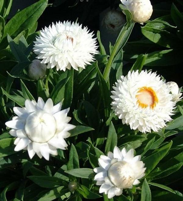 weiße blüten strohblume