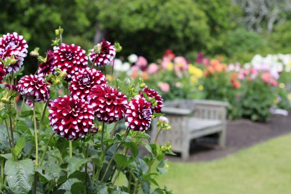 Die Dahlien zählen zu den Lieblingsblumen vieler Gärtner.