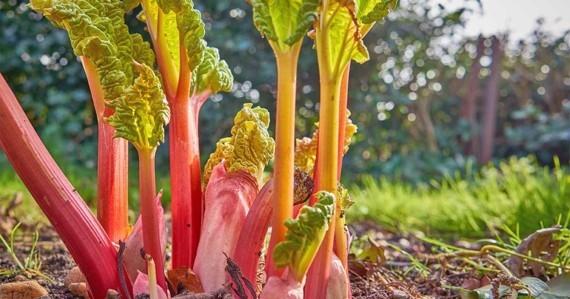 Rezepte mit Rhabarber und Erdbeeren Frühlingsrezepte Rhabarber ernten