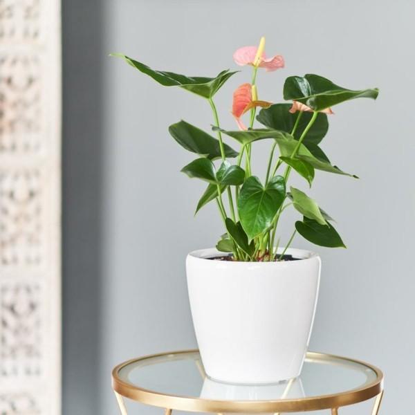 anthurie flamingoblume richtig pflegen als zimmerpflanze