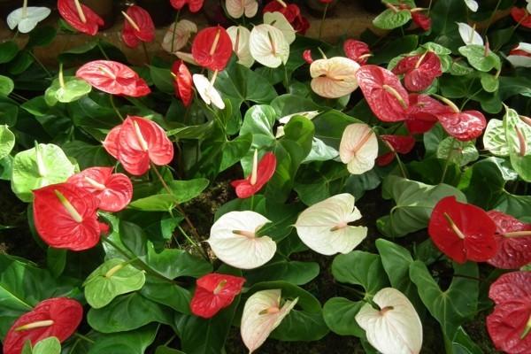 flamingoblume blütezeit mai juni