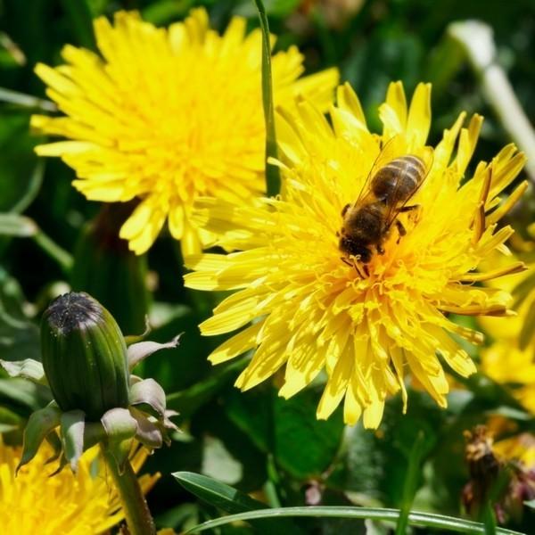 löwenzahn pflanze bienenfreundlich
