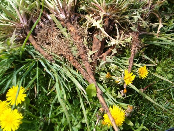 löwenzahntee wurzeln blüten gesund