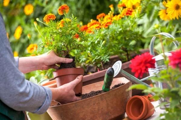 tagetes umpflanzen im ziergarten