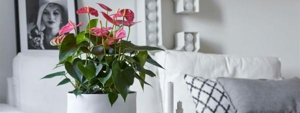 trendblume anthurie flamingoblume als zimmerpflanze pflegen