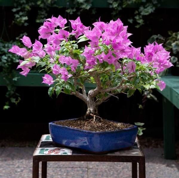 Bonsai Baum - Lila Blätter