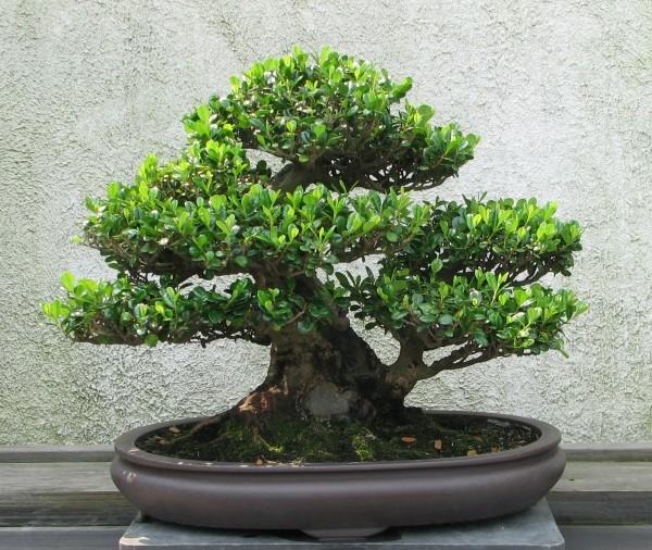 Bonsai Baum breit ausladend