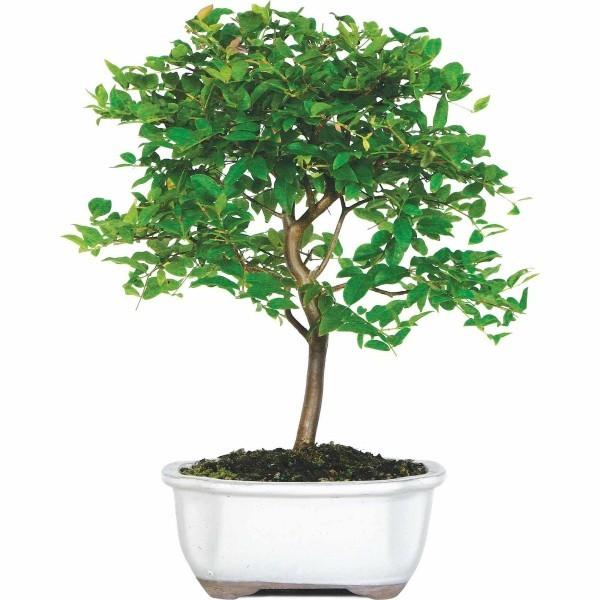 Bonsai Baum dünner Stamm und Blätter
