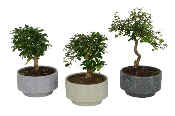 Bonsai Baum drei verschiedene Töpfe