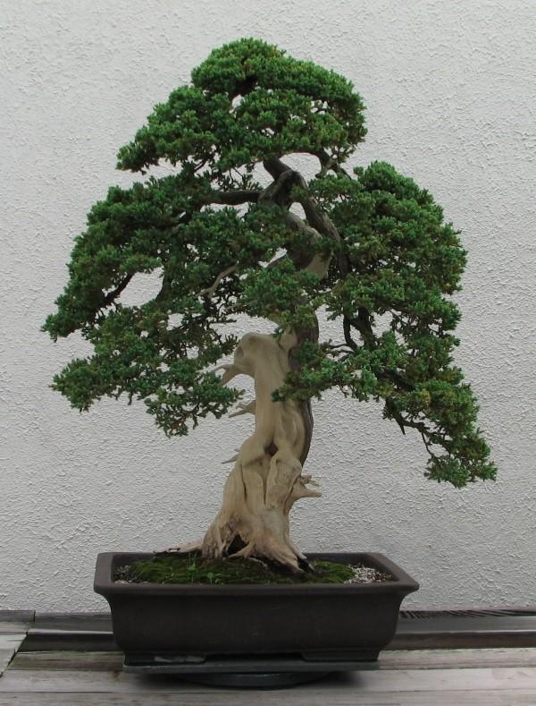 Bonsai Baum - ganz tolle Erscheinung