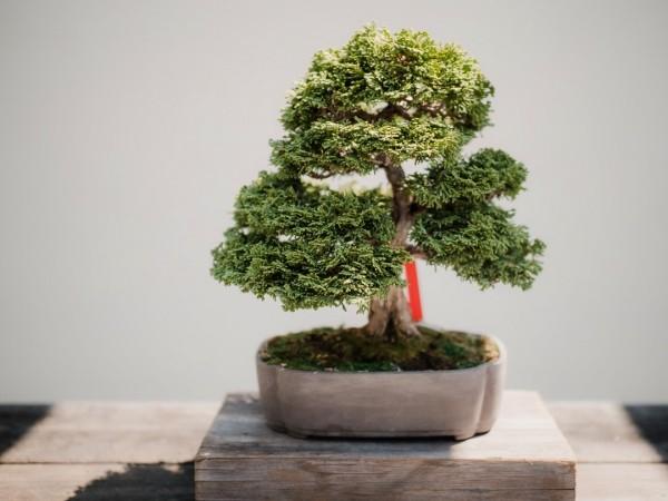 Bonsai Baum - ganz tolle Textur
