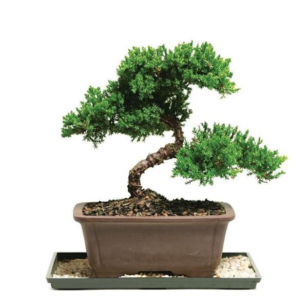 Bonsai Baum ganz tolle Verformung